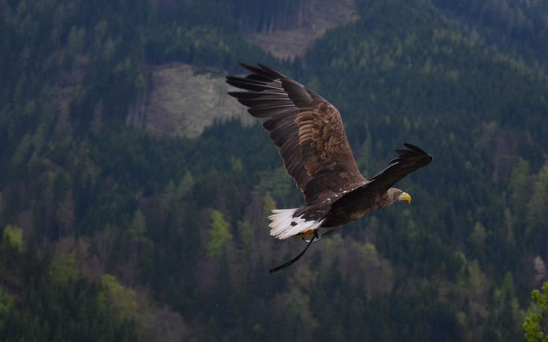 National Eagle Repository encourages bald eagle applications