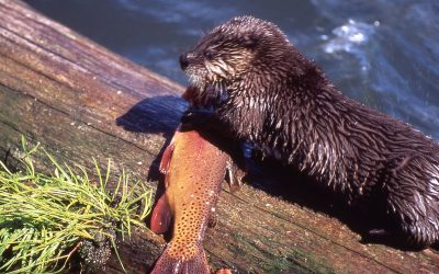 Otters may thrive on the trout stocked in Cherokee streams